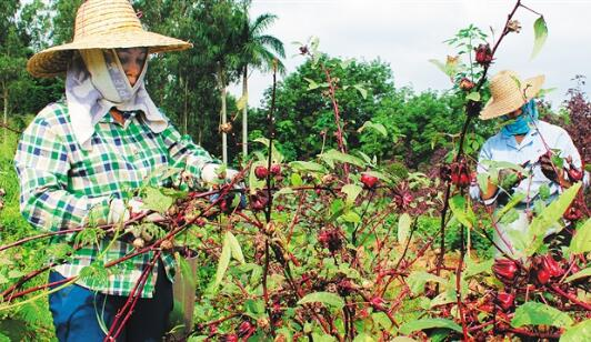 中国热带农业科学院林下试种玫瑰茄